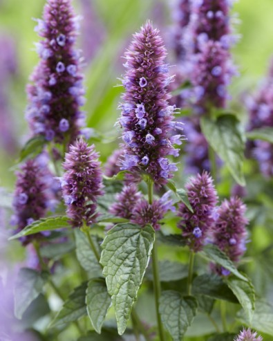 Agastache Beelicious Purple