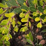 Arctostaphylos Emerald Carpet