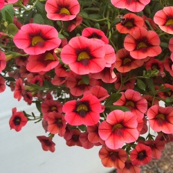 Calibrachoa Caloha Coral Red Ring