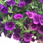 Calibrachoa Caloha Double Blue