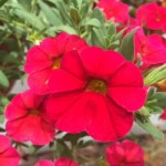 Calibrachoa Caloha Real Red