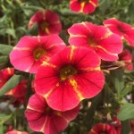 Calibrachoa Caloha Red Yellow Star