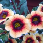 Calibrachoa Caloha Yellow Chocolate Ring