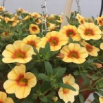 Calibrachoa Caloha Yellow Red Ring