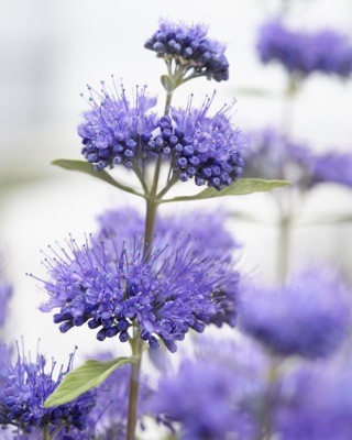 Caryopteris clandonensis Blue Empire