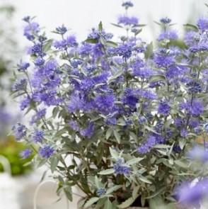 Caryopteris clandonensis Sterling Silver_web