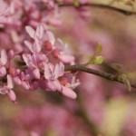 Cercis can Cascading Hearts