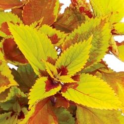 Coleus Pineaplette Beauty