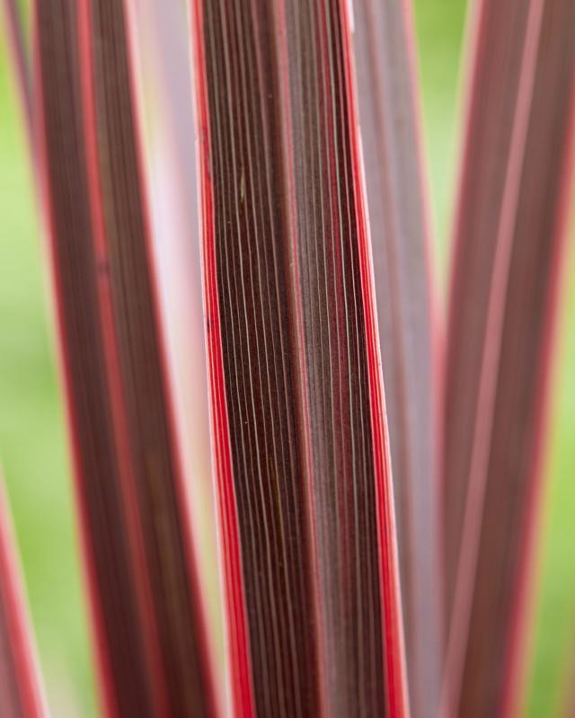 Cordyline-Charlie Boy_foliage-Plantipp WEB