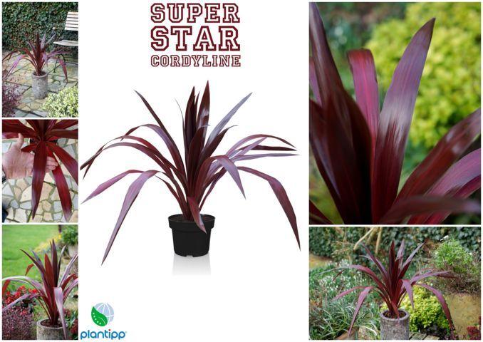 Cordyline_SuperStar-Plantipp WEB