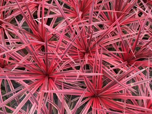Cordyline_pink_Star_Plantipp