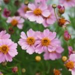 Coreopsis Twinklebell pink