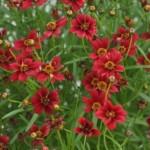 Coreopsis rosea Twinklebells Red