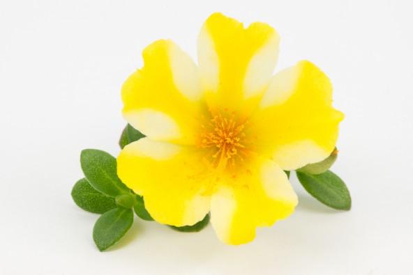 Portulacca Duna Yellow Star