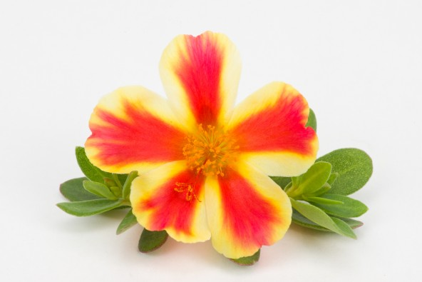 Portulacca Duna Red Flame
