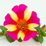 Portulacca Duna Purple Cross