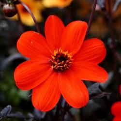 Dahlia Mystic Enchantment flower Plantipp