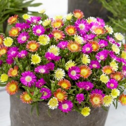 Delosperma Wheels of Wonder Mix WEB COVER