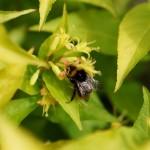Diervilla rivularis Honeybee