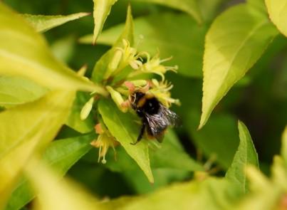 Diervilla-Honeybee_Amici Insetti web