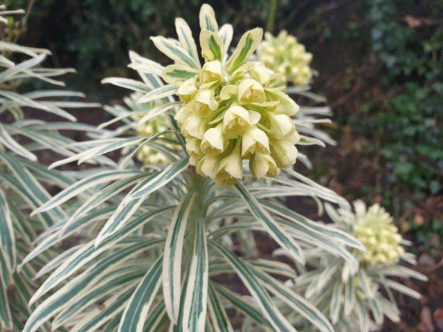 Euphorbia-Tasmanian-Tiger-web
