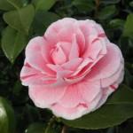 Camellia Japonica Bonomiana