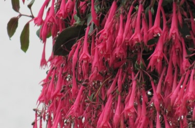 Fuchsia Eruption