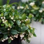 Gaultheria procumbens Gaulthier Pearl