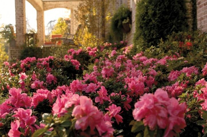 Globeplanter Azalea ENCORE® Empress Conles_Matteo Ragni garden