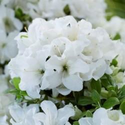 Globeplanter Azalea ENCORE Pure White_Matteo Ragni web