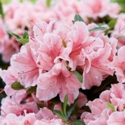 Globeplanter Azalea ENCORE Sunburst_Matteo Ragni web