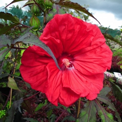 Hibiscus CAROUSEL®  Red Wine