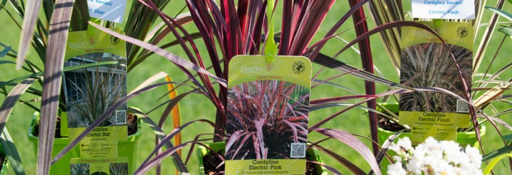 Globeplanter_it Cordyline collection WEB