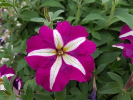 Purple White Star