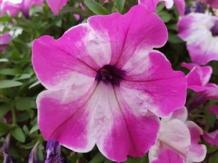 Petunia Happy Giant Pink Mix