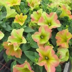 Petunia Happy O56
