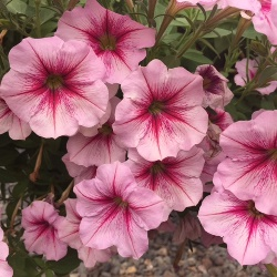 Petunia Happy Pin Rose Vein