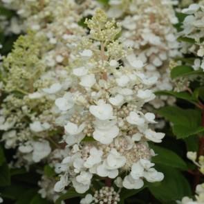 Hydrangea-Baby Lace_Plantipp WEB