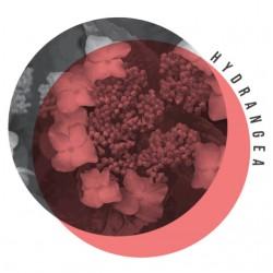 Hydrangea Bookmood WEB
