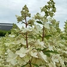 Hydrangea paniculata Confetti_Plantipp WEB