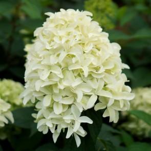 Hydrangea paniculata Skyfall_Plantipp WEB