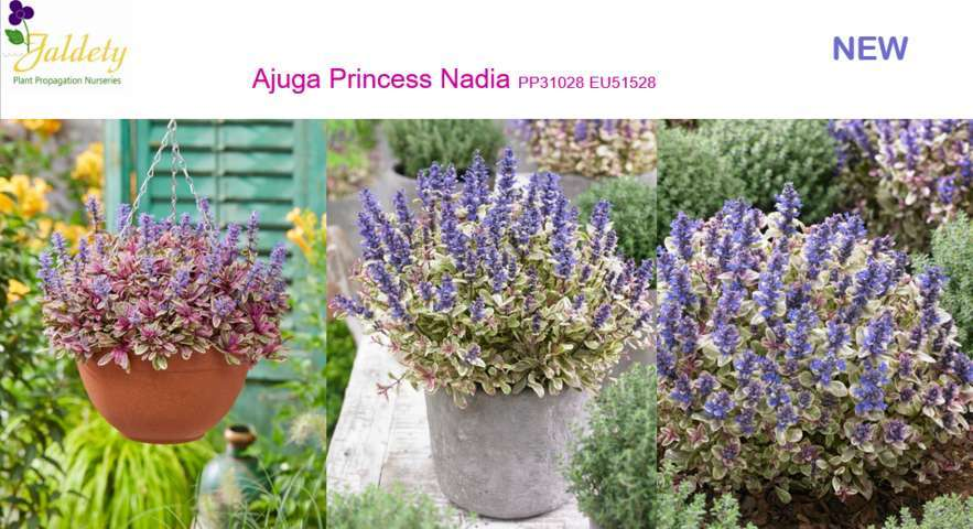 Jaldety_Ajuga Princess Nadia WEB