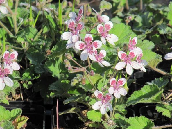 Erodium trifolium