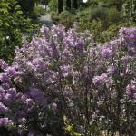 Jardin sec Leucophyllum