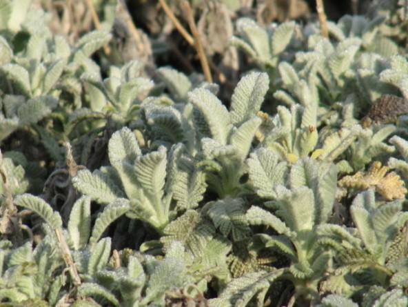 Tanacetum densum