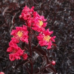 Lagerstroemia Black solitaire web