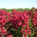 Lagerstroemia Dynamite
