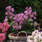 Lagerstroemia LOVE Eternal