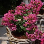 Lagerstroemia LOVE Girl