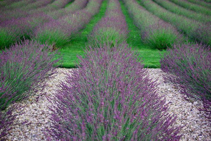 Lavandula-Phenomenal_Garden-web